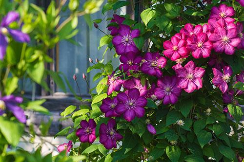 Clematis 500 - Seasonal Gardening Tips