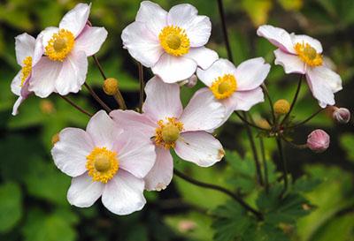 japanese anemone 400 - Seasonal Gardening Tips